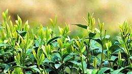 东莞茶叶进口报关代理需要哪些手续和单证?